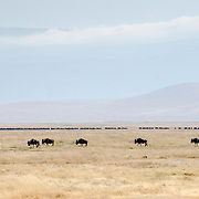 A handful of wildebeest walk in the foreground with a much larger herd across the middle of the frame in the background at Ngorongoro Crater in the Ngorongoro Conservation Area, part of Tanzania's northern circuit of national parks and nature preserves.