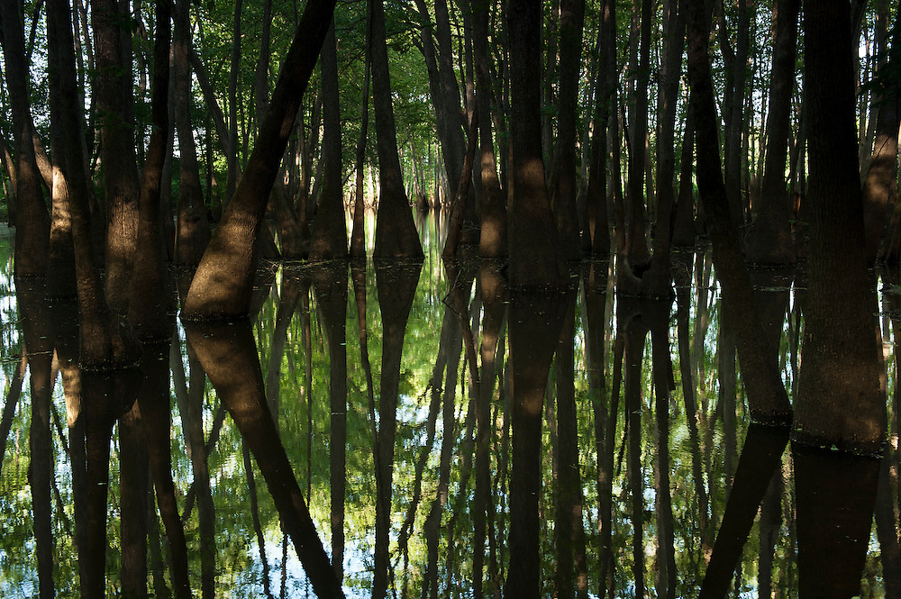Cypress Swamp (Taxodium distichum)<br /> The Orianne Indigo Snake Preserve<br /> Telfair County, Georgia<br /> USA
