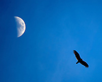 Turkey Vulture Soaring Under a Spring Moon. Backyard Spring Nature in New Jersey. Image taken with a Nikon Df camera and 80-400 mm VRII lens (ISO 140, 400 mm, f/5.6, 1/1600 sec).