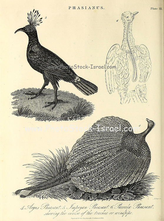 """The """"typical"""" pheasant genus Phasianus in the family Phasianidae consists of at least one species. The common pheasant (P. colchicus) has about 30 recognised subspecies forming five or six distinct groups. Copperplate engraving From the Encyclopaedia Londinensis or, Universal dictionary of arts, sciences, and literature; Volume XX;  Edited by Wilkes, John. Published in London in 1825"""