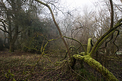 Denham, UK. 6 February, 2020. Trees in Denham Country Park designated for removal as part of works associated with the HS2 high-speed rail link. Works planned in the immediate vicinity include not only the felling of mature trees but also the construction of a Bailey bridge, compounds and fencing, some of which in a wetland nature reserve forming part of a Site of Metropolitan Importance for Nature Conservation (SMI).