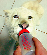 Casper the Lion needs surgery or he will be be paralysed<br /> <br /> Casper was six months and very playful and we did not see what really happened, but it can be from playing on the obstacles in his enclosure and from playing rough and fell down on his shoulder.  Afterwards we saw that he walked limp and week by week it got worse.  He was very grumpy and the cause was pain.  We took him to the vet (VETS@HALDON, Animal Hospital, Dr. Keri Beviss-Challinor (BSc. BVSc) -   She put him immediately on pain medication and took him for X-rays.  The X-rays did not show anything wrong with his neck, back and pelvis.  Then she arranged for a MRI scan at the human hospital University Hospital, in Bloemfontein.  The MRI scan showed that he has two fractures on his shoulder.  We immediately contacted the specialist in Johannesburg, Dr. Fanie Noude - JHB Specialist Veterinarian Centre -   Now we need and wait for funds to send him for an operation.  In the meantime he is still on pain medication and it is not good for his organs and he is still not walking.  The owner of Zanchieta (Lizette van Schalkwyk -  already paid for all the vet expenses and scans and she will not allow Casper not to go for surgery - she will arrange for a private loan at a South African Bank to cover the rest of the expenses for the operation and aftercare if insufficient funds are received, casper will not die <br /> but he will be paralysed if he does not have his operation<br /> all donations can be made to casper's facebook page (save Capser)<br /> ©Exclusivepix<br /> <br /> For extra copy if your client needs please email casper's owner<br /> info@zanchieta.co.za, Lizette van Schalkwyk.
