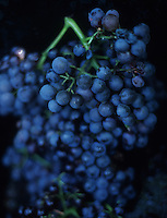 grapes in Roussillon, France.-¨Photograph by Owen Franken - Photograph by Owen Franken