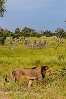 A male lion walks through the bush as a herd of zebras watch in the background, Linyanti Marshes, Botswana.