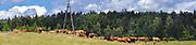 Krowy pasące się na łąkach w okolicach Puńska.