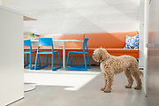 Family dog Styler in the kitchen/dining room in the glass-roofed extension on the garden level at actor Jacob Krichefski's North London home. CREDIT: Vanessa Berberian for The Wall Street Journal. KRICHEFSKI