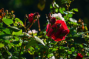 Red Rose growing in a garden. Photographed in Romania in May
