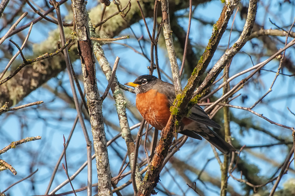 One of the most common birds found across North America, this American robin perches in a tree on a cold winter morning in Western Washington at the base of the Nisqually River.