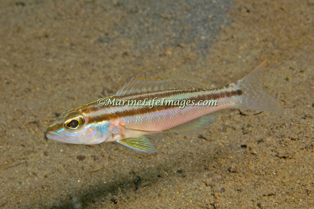 Dwarf Sand Perch inhabit areas of sand and rubble in the Caribbean, rare Florida; picture taken St. Vincent.