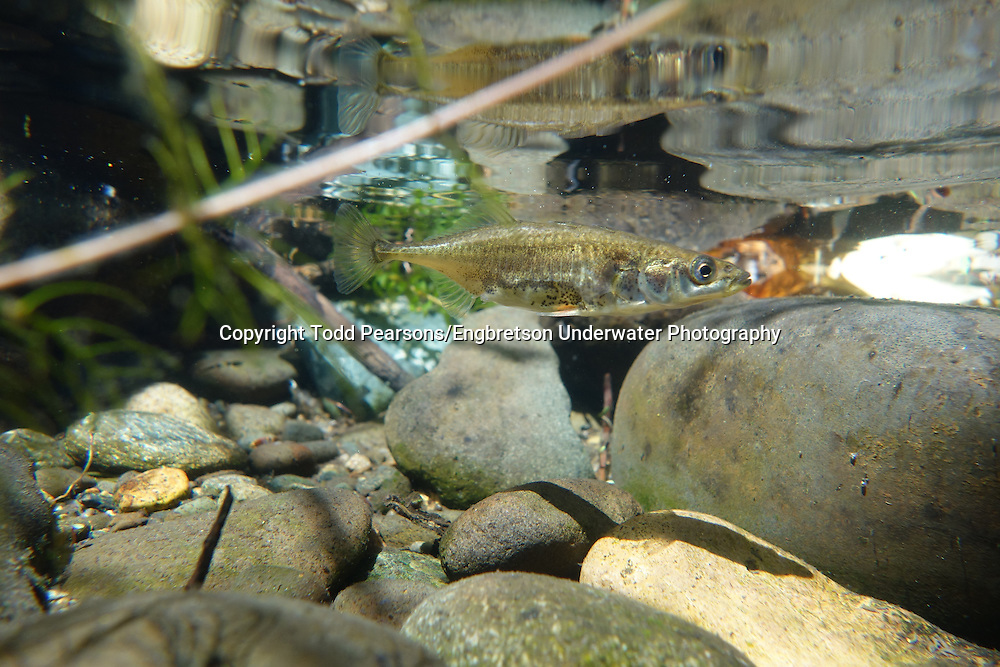 Three-Spined Stickleback<br /> <br /> Todd Pearsons/Engbretson Underwater Photography