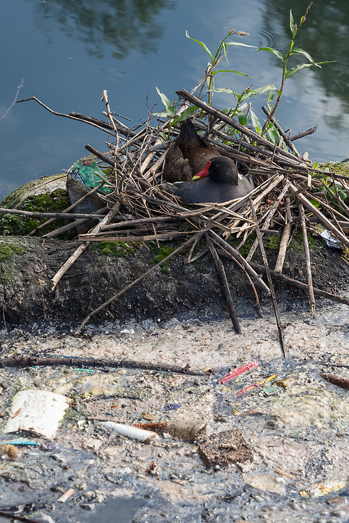 Coot nesting in the Moselle Brook, Lordship Recreation Ground, Tottenham, London