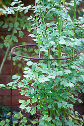 Circle plant support with Thalictrum