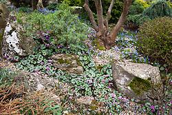 Cyclamen coum and Chionodoxa lucilae on the rock garden in John Massey's garden at Ashwood Nurseries