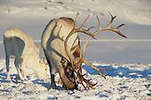 Arctic Reindeeers