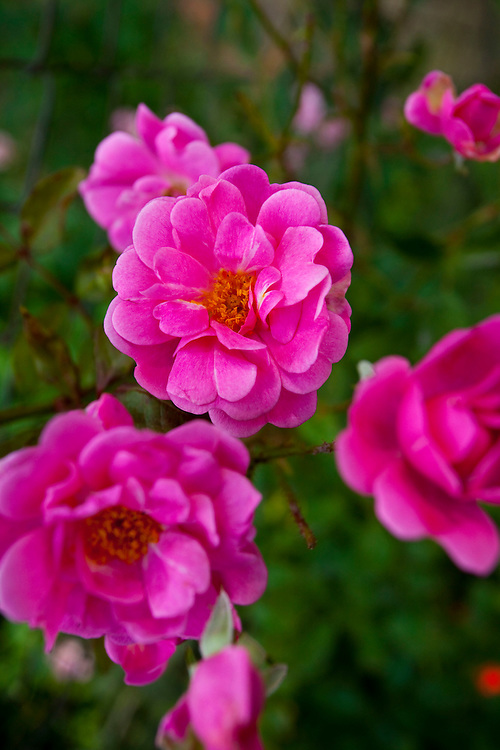 Contagem_MG, Brasil...Rosas na propriedade que produz e vende flores comestiveis para restaurantes e supermercados...The edible flowers, this flowers are seller in the restaurants and the supermarkets. In this photo some roses...Foto: LEO DRUMOND / NITRO