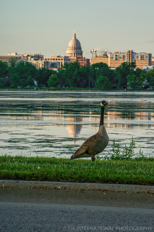 A Goose in the City
