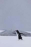 Gentoo penguin waddling over snow on Peterman Island, Antarctica