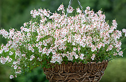 Diascia White Belle syn. 'Penbel' in a hanging basket