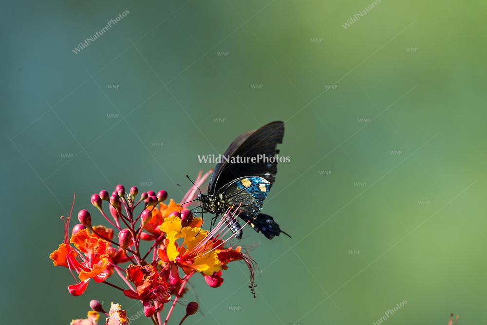 A toxic Pipevine Swallowtail (Battus philenor) feeding on nectar from the flowers of the Red Bird of Paradise (Caesalpinia pulcherrima) (Arizona)