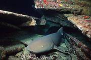 nurse shark, Ginglymostoma cirratum, rests in shipwreck at night, Bahamas ( Western Atlantic Ocean )