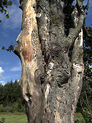 CZECH REPUBLIC VYSOCINA NEDVEZI 23JUL11 - Three trees grown together at the Pansky les forest near the village of Nedvezi and the town of Bystre in Vysocina, Czech Republic.....jre/Photo by Jiri Rezac....© Jiri Rezac 2011