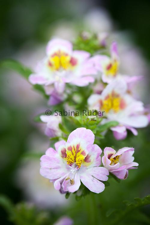 Schizanthus x wisetonensis - Dr Badger's Hybrids mixed  - butterfly flower
