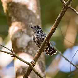 Pintadinho, ave endêmica do Brasil, registrada em Domingos Martins, ES. É encontrado apenas na costa leste do Brasil. Para encontrarmos esta ave, devemos ficar atentos nos emaranhados de taquaras e bromélias, pois é onde esta espécie gosta de habitar.