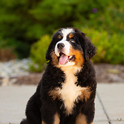 20201212 Bernese Mountain Dog