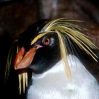 Northern Rock Hopper Penguins