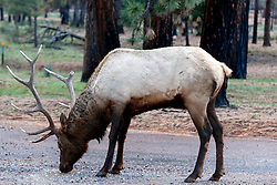 OCT 6, 2016: A male elk drinks from a puddle following a brief rain shower in Grand Canyon,  Arizona, Richey Miller/CSM(Credit Image: © Richey Miller/Cal Sport Media)
