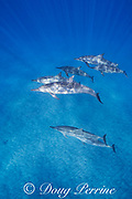 Hawaiian spinner dolphins or Gray's spinner dolphin, Stenella longirostris longirostris, Ho'okena, South Kona, Hawaii ( the Big Island ), USA ( Central Pacific Ocean ); one dolphin is playing with a leaf draped over its pectoral fin