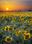 "Sunflowers in northern Texas<br /> .....<br /> Sunflower (Helianthus) is a genus of plants comprising about 52 species in the Asteraceae family, all of which are native to North America. The common name ""sunflower"" also applies to the popular annual species Helianthus annuus. This and other species, notably Jerusalem artichoke (H. tuberosus), are cultivated in temperate regions as food crops and ornamental plants.<br /> <br /> The genus is one of many in the Asteraceae that are known as sunflowers. It is distinguished technically by the fact that the ray flowers, when present, are sterile, and by the presence on the disk flowers of a pappus that is of two awn-like scales that are cauducous (that is, easily detached and falling at maturity). Some species also have additional shorter scales in the pappus, and there is one species that lacks a pappus entirely. Another technical feature that distinguishes the genus more reliably, but requires a microscope to see, is the presence of a prominent, multicellular appendage at the apex of the style.<br /> <br /> There is quite a bit of variability among the perennial species that make up the bulk of the species in the genus. Some have most or all of the large leaves in a rosette at the base of the plant and produce a flowering stem that has leaves that are reduced in size. Most of the perennials have disk flowers that are entirely yellow, but a few have disk flowers with reddish lobes. One species, H. radula, lacks ray flowers altogether.<br /> <br /> The domesticated sunflower, Helianthus annuus, is the most familiar species. Perennial sunflower species are not as popular for gardens due to their tendency to spread rapidly and become invasive."