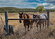 Two horses look on through a fence, along Route 4 in the Flint hills of Kansas.