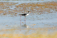 Black-necked Stilts<br /> <br /> ©2015, Sean Phillips<br /> http://www.RiverwoodPhotography.com
