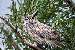 Great Horned Owl, Swan Valley, Idaho