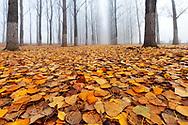 Misty poplar forest in autumn