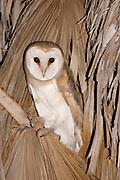 Barn Owl (Tyto alba) on a Palm tree at night, Hefer valley, Israel