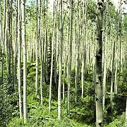 Aspen Grove, Colorado Rocky Mountains