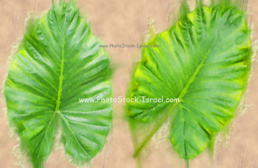 Arbor day Concept Digitally enhanced image of two large leafs of the Alocasia plant. A tropical house plant