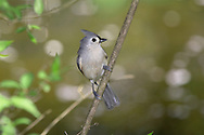 Tufted Titmouse, Parus bicolor, Posing Nicely On A Stem