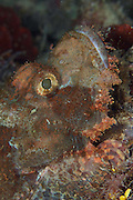 Scorpionfish have variable colours and tones which can be altered depending upon the substrate the fish is lying on.  Scorpionfishes are lie and wait ambush predators