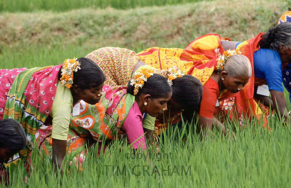 Group of Indian women gathering rice crop, India