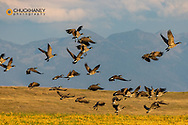 Canada Geese take off for flight in the Flathead Valley, Montana, USA