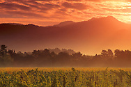 Vineyards at sunrise, near Yountville, Napa Valley, Napa County, California