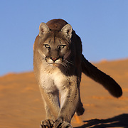 Mountain Lion (Felis concolor) In the sand dunes in the slot canyons in northern Arizona. Captive Animal