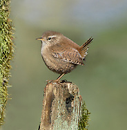 Wren - Troglodytes troglodytes. L 9-10cm. Tiny, dumpy bird that cocks tail upright. Unobtrusive and often creeps through low vegetation. Call is distinctive. Sexes are similar. Adult and juvenile have dark reddish brown upperparts with barring on wings and tail. Underparts are greyish white with buff wash to flanks; note striking, pale supercilium. Bill is needle-like and legs are reddish. Voice Utters a loud, rattling alarm call; warbling song ends in a trill. Status Widespread resident of all sorts of habitats with dense undergrowth.