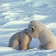 Polar Bear, (Ursus maritimus) Sub adults play fighting, waiting for Hudson Bay to freeze. Manitoba. Canada.