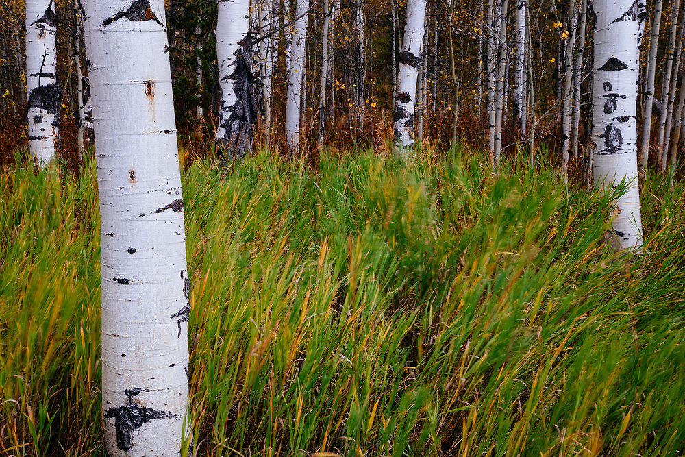 Aspen trunks and forest during autumn near Jackson, Wyoming.