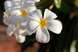 Frangipani or Plumeria with dew drops.