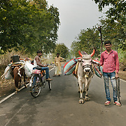 Troubadours going to entertain the crowd with their bull at Amartkantak.<br /> Madhya Pradesh Province.